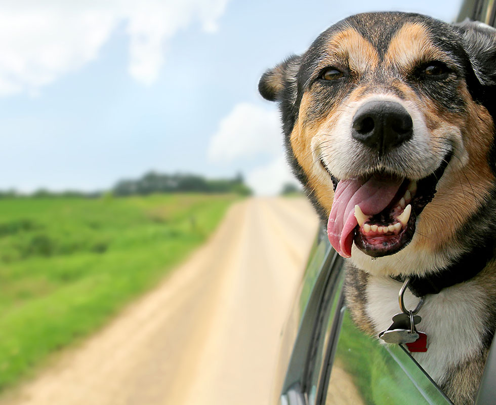 Picture of Dog leaning out of the car window with wind in its face