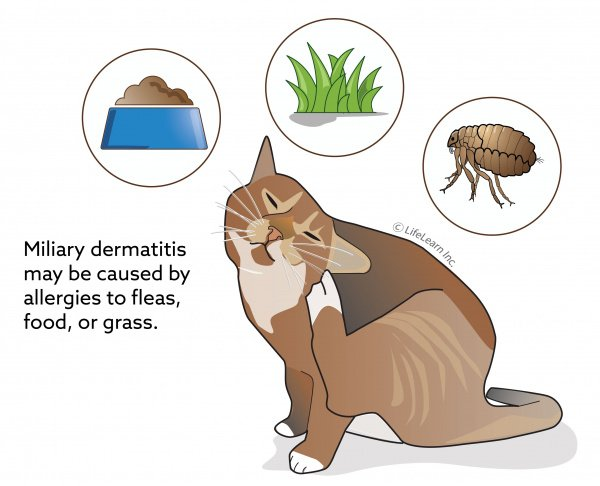 Miliary Dermatitis In Cats Vca Animal Hospital