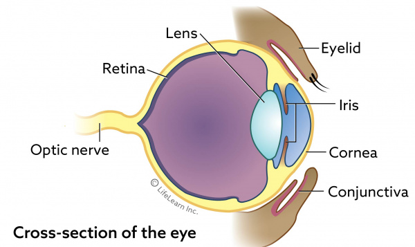 eye-cross-section