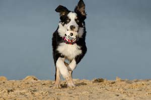 Picture of a dog with a ball running in sand