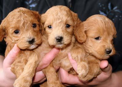 How To Choose A Good Dog Breeder Vca Animal Hospital