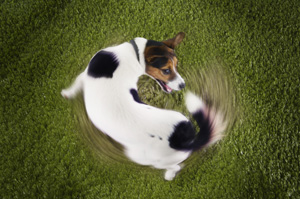 why-dogs-chase-tails