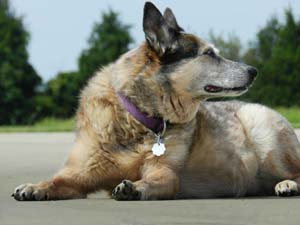 systemic-hypertension-dogs