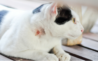 Abscesses In Cats Vca Animal Hospital