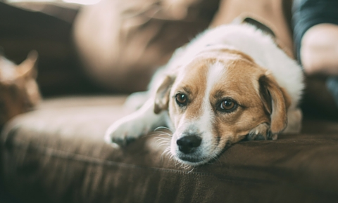 Acetaminophen Toxicity in Dogs