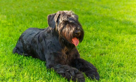 Hypoallergenic Dog Breeds: Is There Such a Thing?