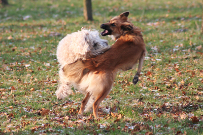 aggression_in_dogs_-to_unfamiliar_dogs_2