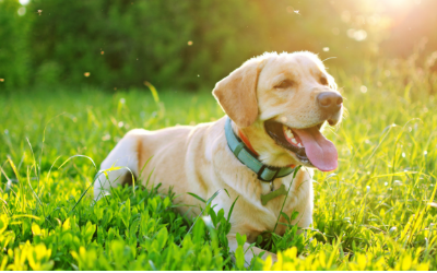 Heartworm Disease in Dogs - Treatment