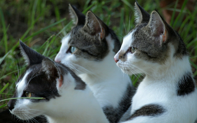 Infertility in Female Cats