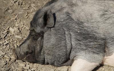 Skin, Hoof, and Dental Care for Your Mini-Pig