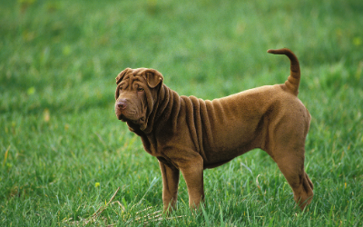 Shar-Pei Recurrent Fever Syndrome