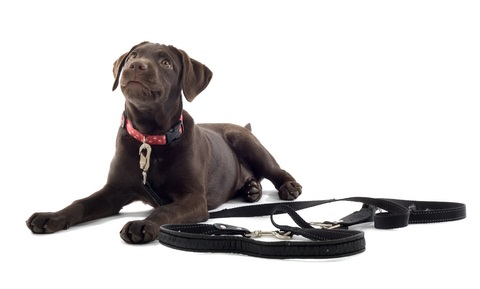 Puppy Behavior and Training - Handling and Food Bowl Exercises