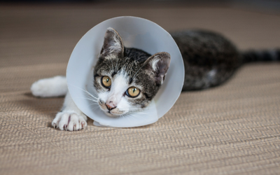 Care of Open Wounds in Cats