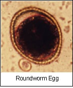 microscope view of a roundworm egg