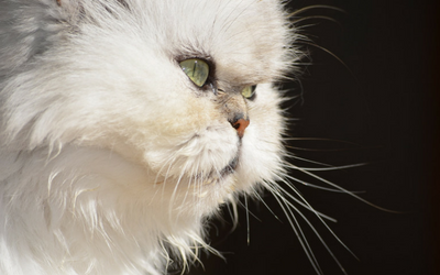 Brachycephalic Airway Syndrome in Cats