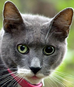 Anisocoria In Cats Vca Animal Hospital