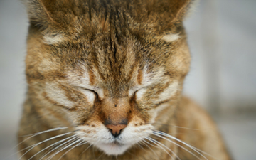 Feline Upper Respiratory Infection