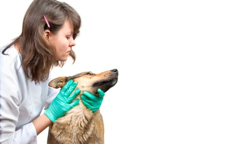 Applying Eye Drops to Dogs