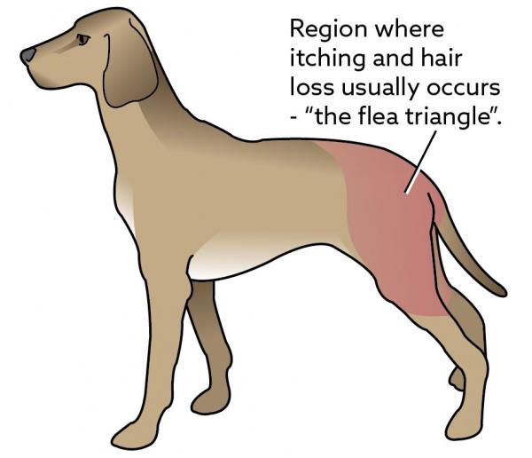 Flea Allergy Dermais In Dogs Vca