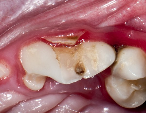 Tooth Root Abscess In Dogs Vca Animal Hospital