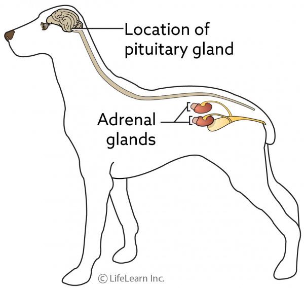 Pituitary Tumors Vca Animal Hospital