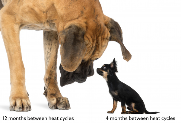 Estrous Cycles in Dogs   VCA Animal Hospital