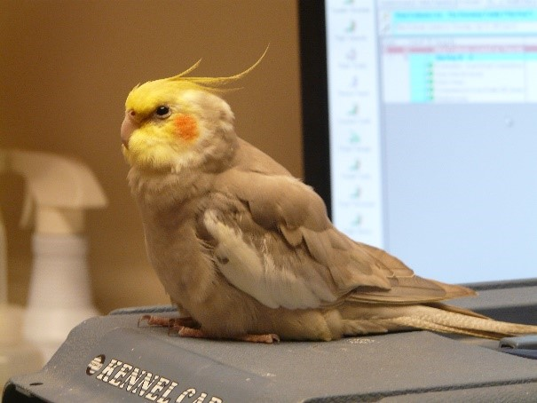 Recognizing the Signs of Illness in Pet Birds