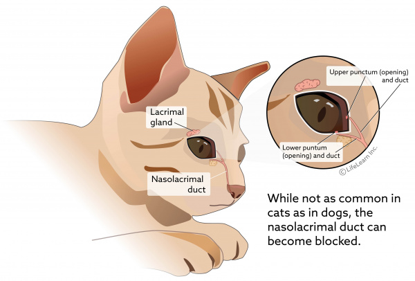 Eye Discharge Epiphora In Cats Vca Animal Hospital