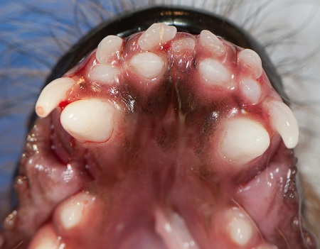 Retained deciduous canines and incisors