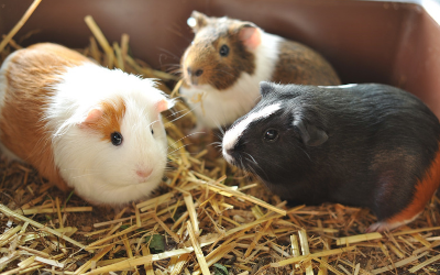 Owning Guinea Pigs | VCA Animal Hospital