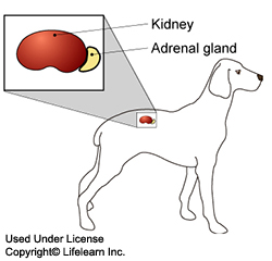Addison's Disease in Dogs - Overview