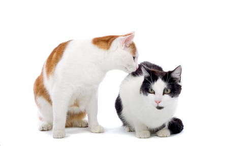 aggression_in_cats__towards_other_household_cats__treatment_1