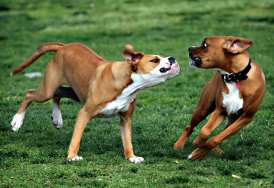 aggression_in_dogs_-to_unfamiliar_dogs_1