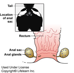 Anal gland smell