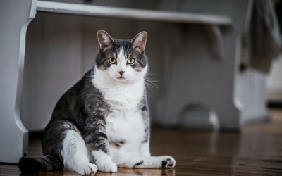 Creating a Weight Reduction Plan for Cats