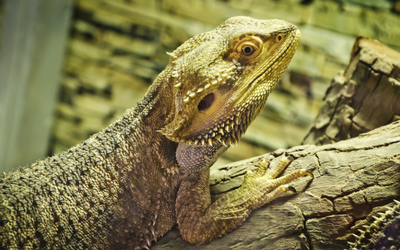 Bearded Dragons - Owning | VCA Animal Hospital