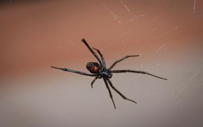Brown Recluse Vs Black Widow Bite