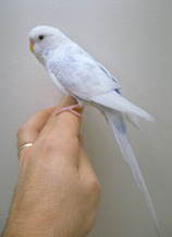 Budgies - General | VCA Animal Hospital