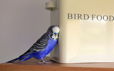 Budgies - Feeding | VCA Animal Hospital