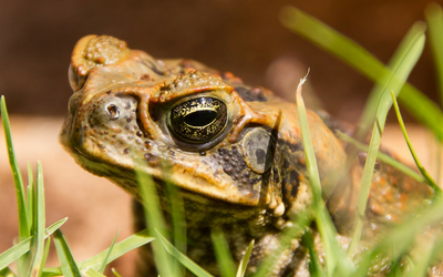 cane_toad_toxicity