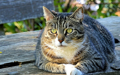 Diabetic Remission in Cats