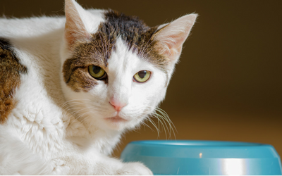 Vomiting in Cats | VCA Animal Hospital