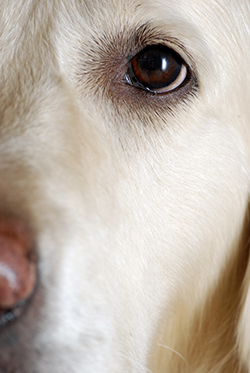 Cataracts May Develop Relatively Early In Life Some Breeds Others The First Signs