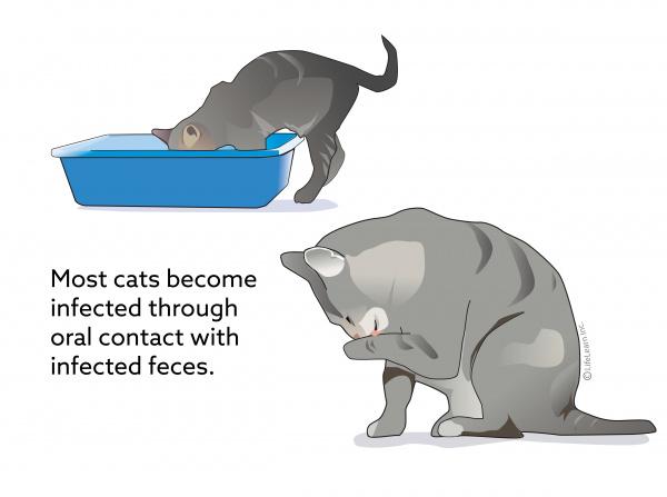 Feline Infectious Peritonitis | VCA Animal Hospital