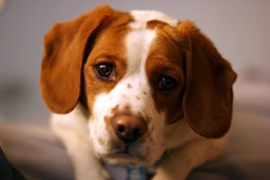 Clostridial Overgrowth Enterotoxicosis In Dogs Vca