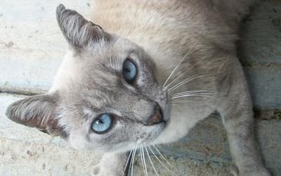 Cyanosis in Cats | VCA Animal Hospital
