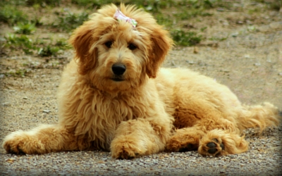 Designer Dog Breeds Vca Animal Hospital