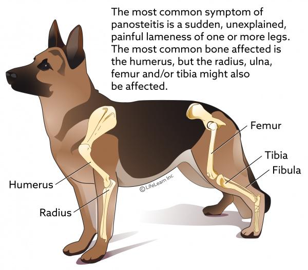 Panosteitis in Dogs | VCA Animal Hospital