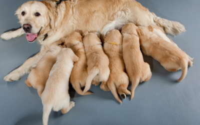 Eclampsia in Dogs | VCA Animal Hospital