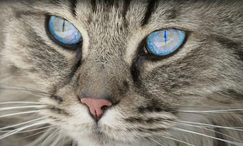 Eosinophilic Keratitis In Cats Vca Animal Hospital